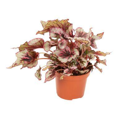 Begonia królewska 33 cm