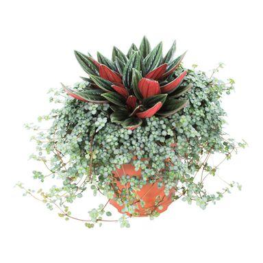 Pilea -Rosso 20 cm