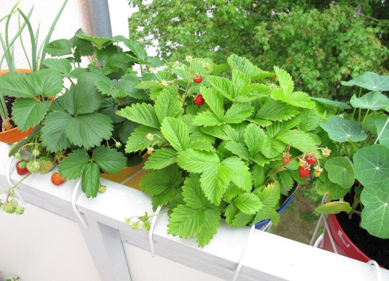 Co Warto Wiedzieć O Uprawie Warzyw Na Balkonie Porady