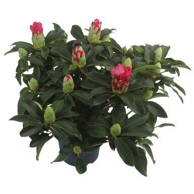 Różanecznik XXL MIX 50 - 60 cm