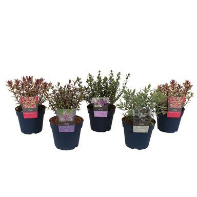 Roślina ogrodowa MIX Hebe 15 - 20 cm