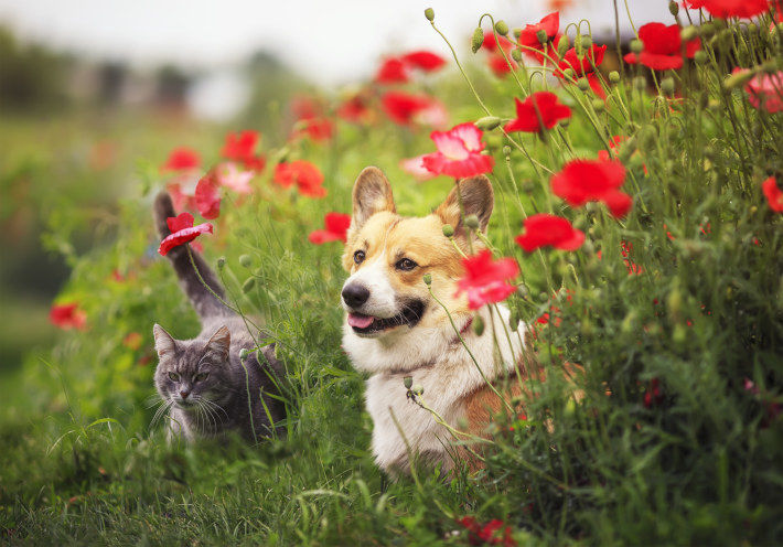 Pies Corgie schowany z kwiatach z kotem