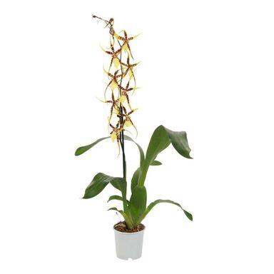 Storczyk Brassia Eternal Wind 1 pęd 70 cm