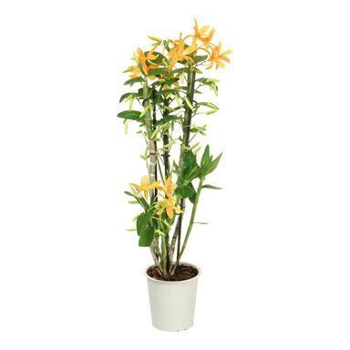 Storczyk Dendrobium nobile 'Orange' 2 pędy 45 - 50 cm