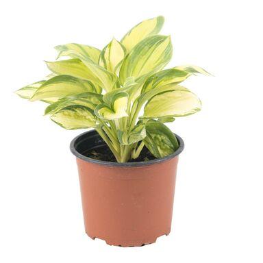 Roślina ogrodowa MIX Funkia 20 - 40 cm