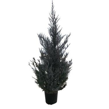 Krzew Jałowiec 'Moonglow' 140 cm