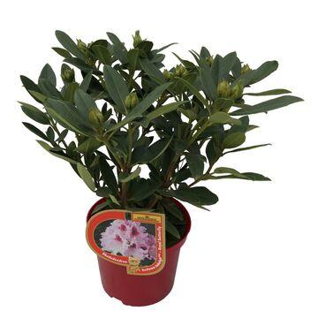 Różanecznik królewski MIX 25 - 35 cm