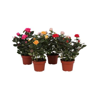 Róża miniaturowa MIX 35 cm