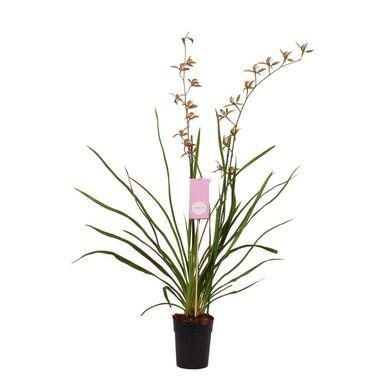 Storczyk Cymbidium erythreanum 90 - 95 cm