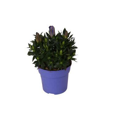 Krzew MIX Angelonia 25-30 cm