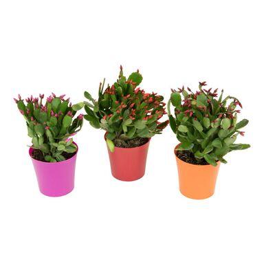 Kaktus wielkanocny MIX 25 cm