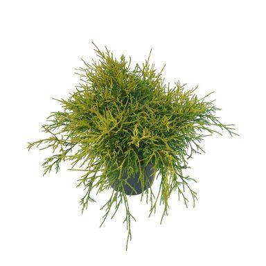 Cyprysik groszkowy 'Sungold' 20 - 25 cm