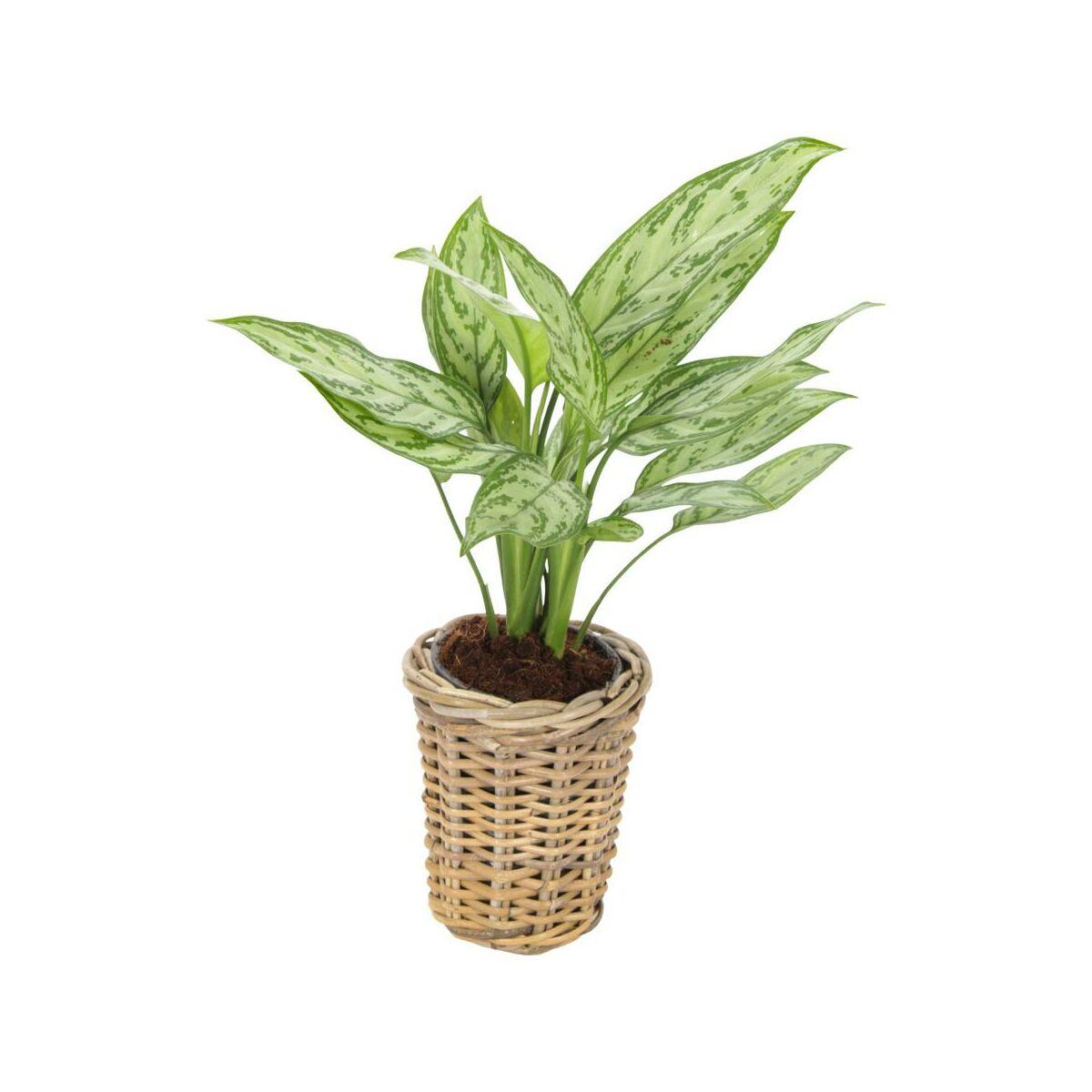 Aglonema Mix 40 Cm W Koszu Rosliny Zielone W Atrakcyjnej Cenie W Sklepach Leroy Merlin