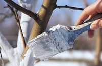 Zimowe bielenie drzew – zadbaj o drzewa w ogrodzie
