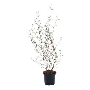 Sophora 'Little Baby' 35 - 40 cm