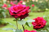Sadzenie i przycinanie róż