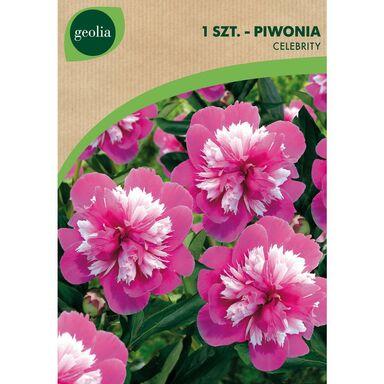 Cebulki kwiatów CELEBRITY Piwonia 1szt. GEOLIA