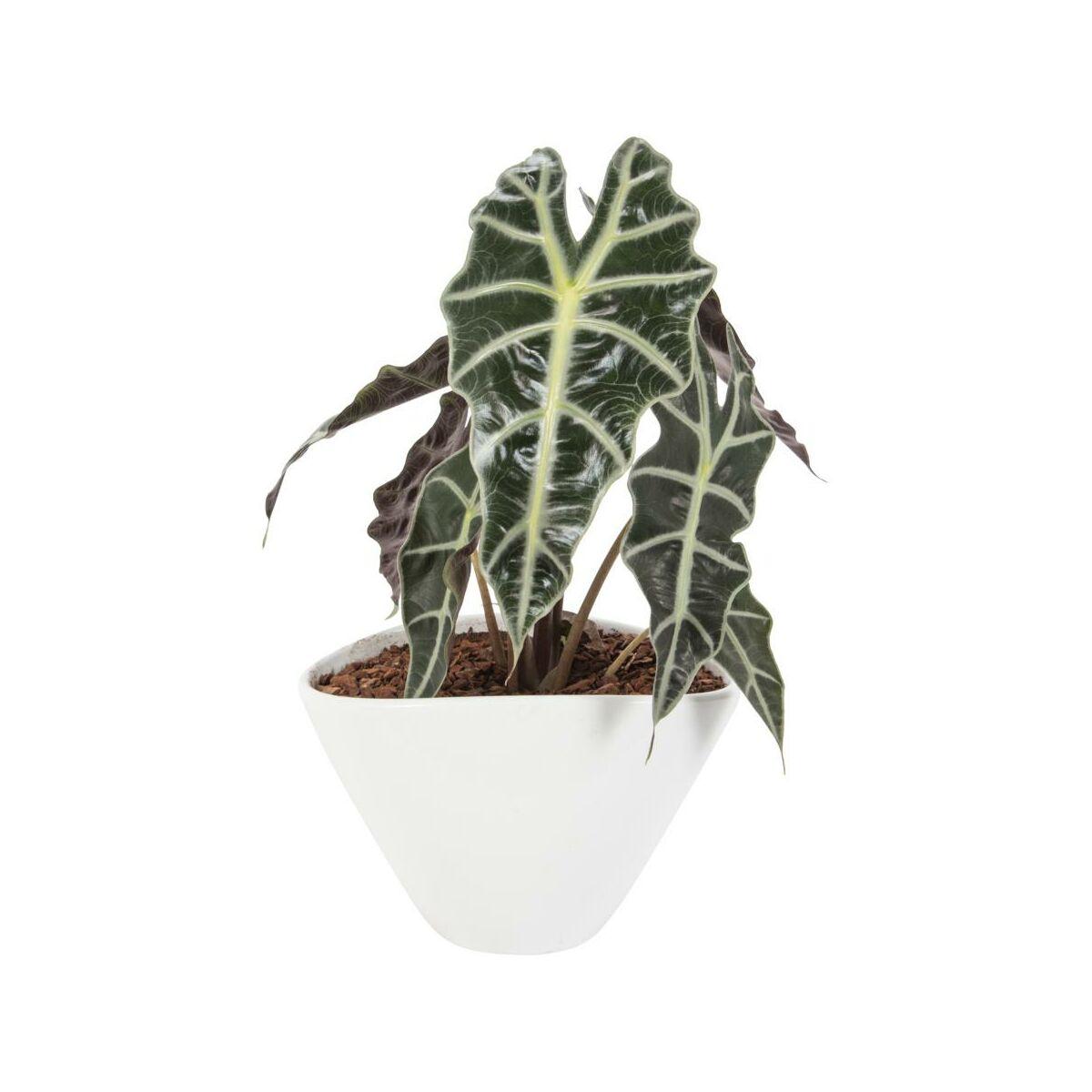 fd72d816c7d18e Rośliny zielone w osłonce ceramicznej MIX 27 cm - Kwiaty doniczkowe ...