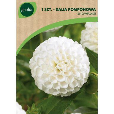 Cebulki kwiatów SNOWFLAKE Dalia pomponowa 1szt. GEOLIA