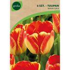 Tulipan Triumph BANJA LUKA 6 szt. cebulki kwiatów GEOLIA