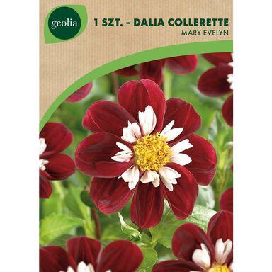 Cebulki kwiatów MARY EVELINE Dalia Mignon 1szt. GEOLIA