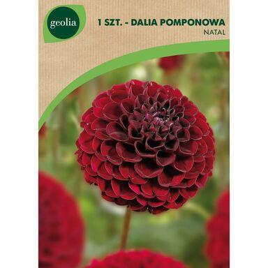 Cebulki kwiatów NATAL Dalia pomponowa 1szt. GEOLIA