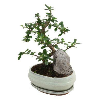 Bonsai MIX 35 cm