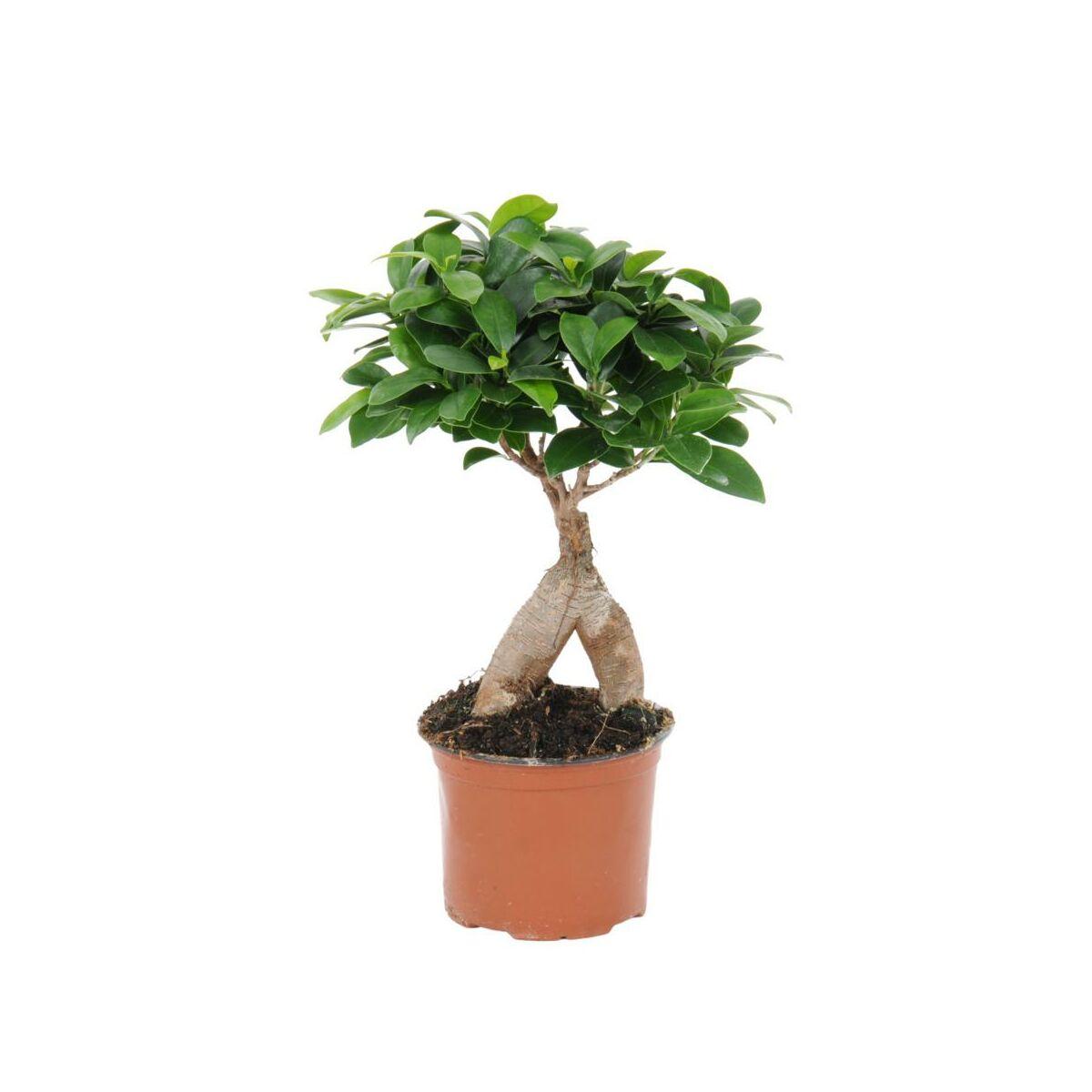 Ginseng Bonsai - Nails Fashion Ficus Ginseng Bonsai Einpflanzen Tipps