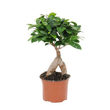 Bonsai Ficus Ginseng 35 cm