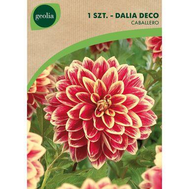 Cebulki kwiatów CABALLERO Dalia dekoracyjna 1szt. GEOLIA