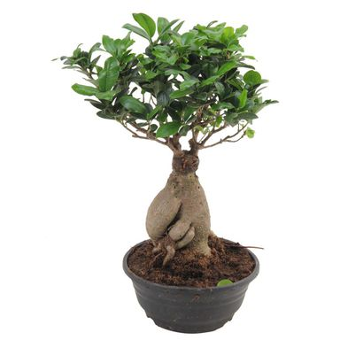 bonsai ficus ginseng 40 cm kwiaty doniczkowe w. Black Bedroom Furniture Sets. Home Design Ideas