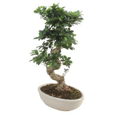Bonsai Ficus Ginseng 80 - 90 cm