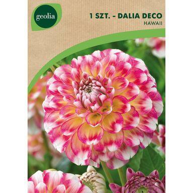 Cebulki kwiatów HAWAII Dalia dekoracyjna 1szt. GEOLIA