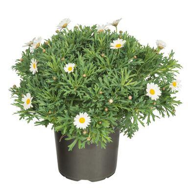 Złocień krzewiasty 25 - 30 cm