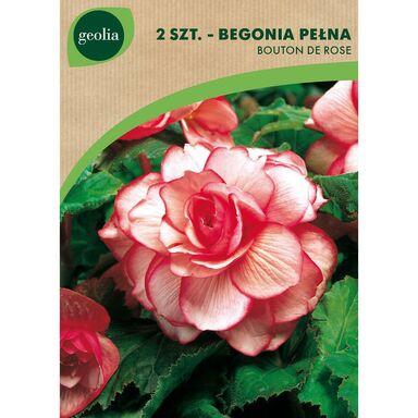 Cebulki kwiatów BOUTON DE ROSE Begonia pełna 2szt. GEOLIA