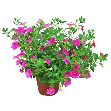 Roślina zwisająca MIX Calibrachoa Million Bells®, Superbells® 15 - 30 cm
