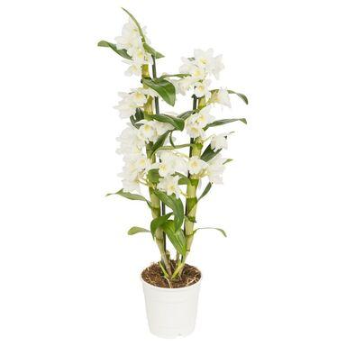 Storczyk Dendrobium nobile 1 pęd MIX 65 cm