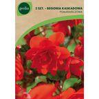 Begonia kaskadowa pomarańczowa 2szt. GEOLIA