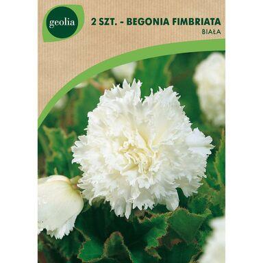 Cebulki kwiatów Begonia strzępiasta biała 2szt. GEOLIA