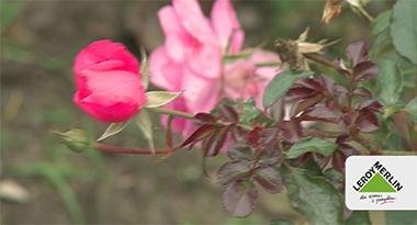 Stanowisko dla róż