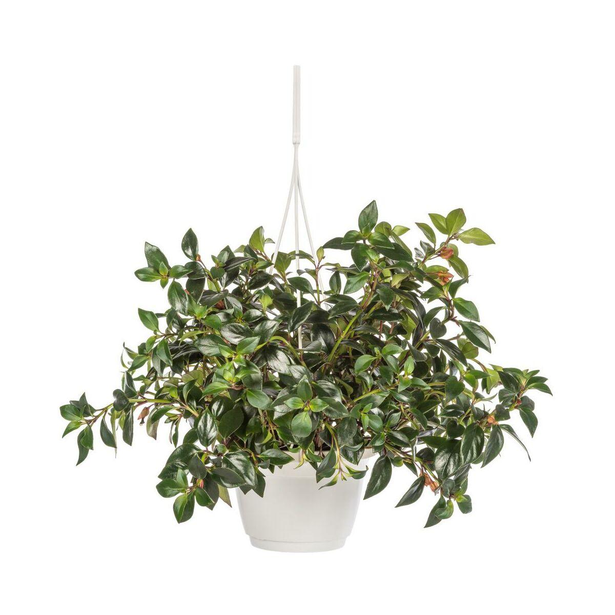 Rośliny Wiszące Mix 50 Cm Kwiaty Doniczkowe W Atrakcyjnej Cenie