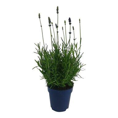 Lawenda wąskolistna 'Essence Purple' 25 - 30 cm