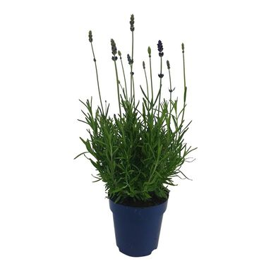 Roślina ogrodowa Lawenda wąskolistna 'Essence Purple' 25 - 30 cm