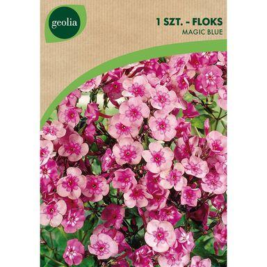 Cebulki kwiatów MAGIC BLUE Floks wiechowaty 1szt. GEOLIA