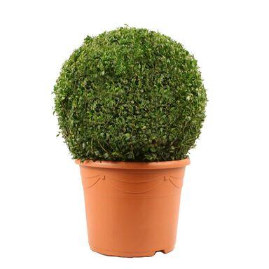 Bukszpan wieczniezielony KULA 28 - 30 cm