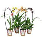 Orchidea Cascade 1 pęd MIX 50 - 60 cm