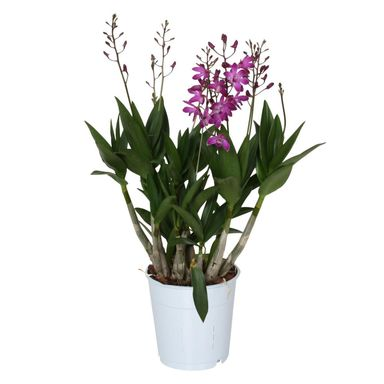 Storczyk Dendrobium 'Berry Oda' 35 - 45 cm