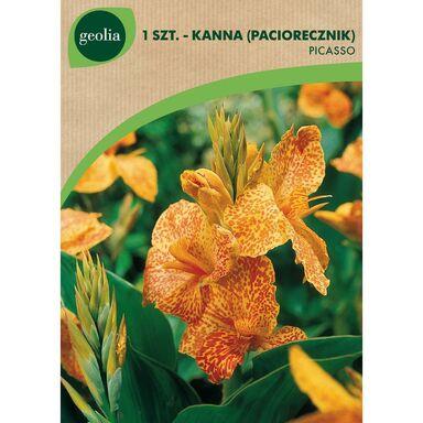 Cebulki kwiatów PICASSO Paciorecznik 1szt. GEOLIA