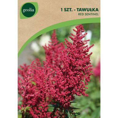 Tawułka RED SENTINEL 1 szt. cebulki kwiatów GEOLIA
