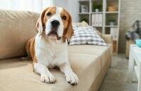Jak utrzymać czystość w domu, w którym mieszka pies?